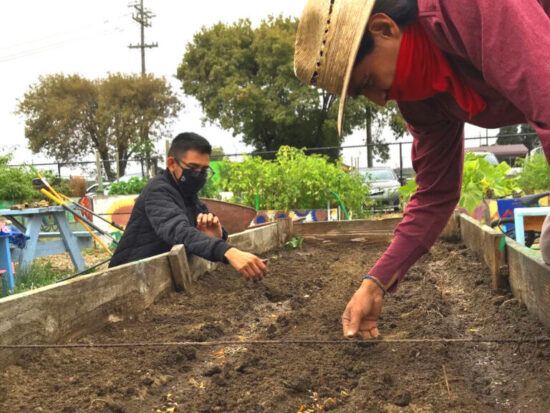 In addition to growing corn, squash, and other foods, gardeners Efren Lopez (Cowell '21, political science and government) and Hugo Sanchez of River Park Garden in Watsonville began the process of sowing the seeds of the cempasuchitl (marigold) flower in July in preparation for November Día de los Muertos celebrations with the local community and youth. —Photo by Carmen Cortez