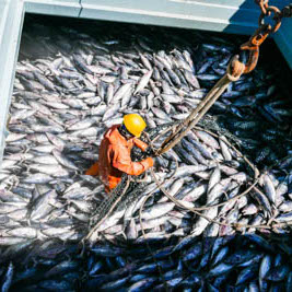 Man in a large container full of fish.